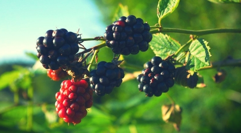 nature-summer-fruits-green-blackberry-blue-1581894b-e1527877379769.jpg
